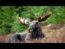 Охота с луком на лося в Северном Онтарио. Охота в Новом Свете. Выпуск 97.