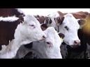 Видеоролик из фильма Ақбас, алға бас! о казахской белоголовой породе