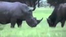 Носорог 2 тонны против буйвола до 1 тонны