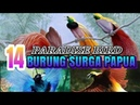 14 BURUNG SURGA PAPUA YANG MEMPESONA II PARADISE BIRD INDONESIA