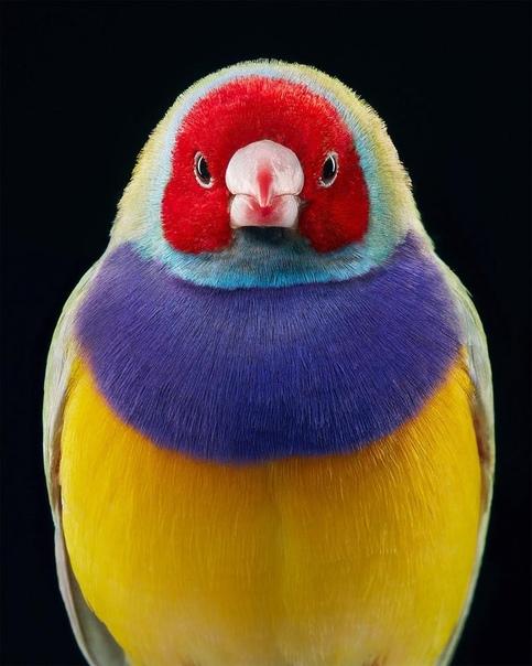 Гульдова амадина - самая красочная птица в мире
