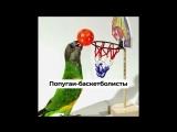 Попугаи-баскетболисты