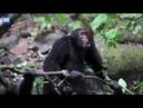 Разъярённая стая шимпанзе жестоко избила своего вожака