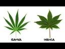 Сорта марихуаны Индика и Сатива В чем разница между индикой и сативой