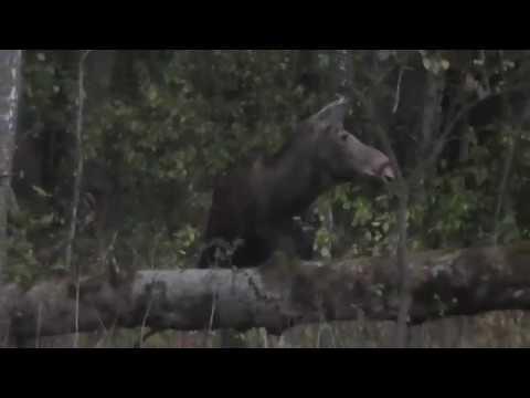 Лось позировал у дороги Такой любопытный Moose posed by the road So curious