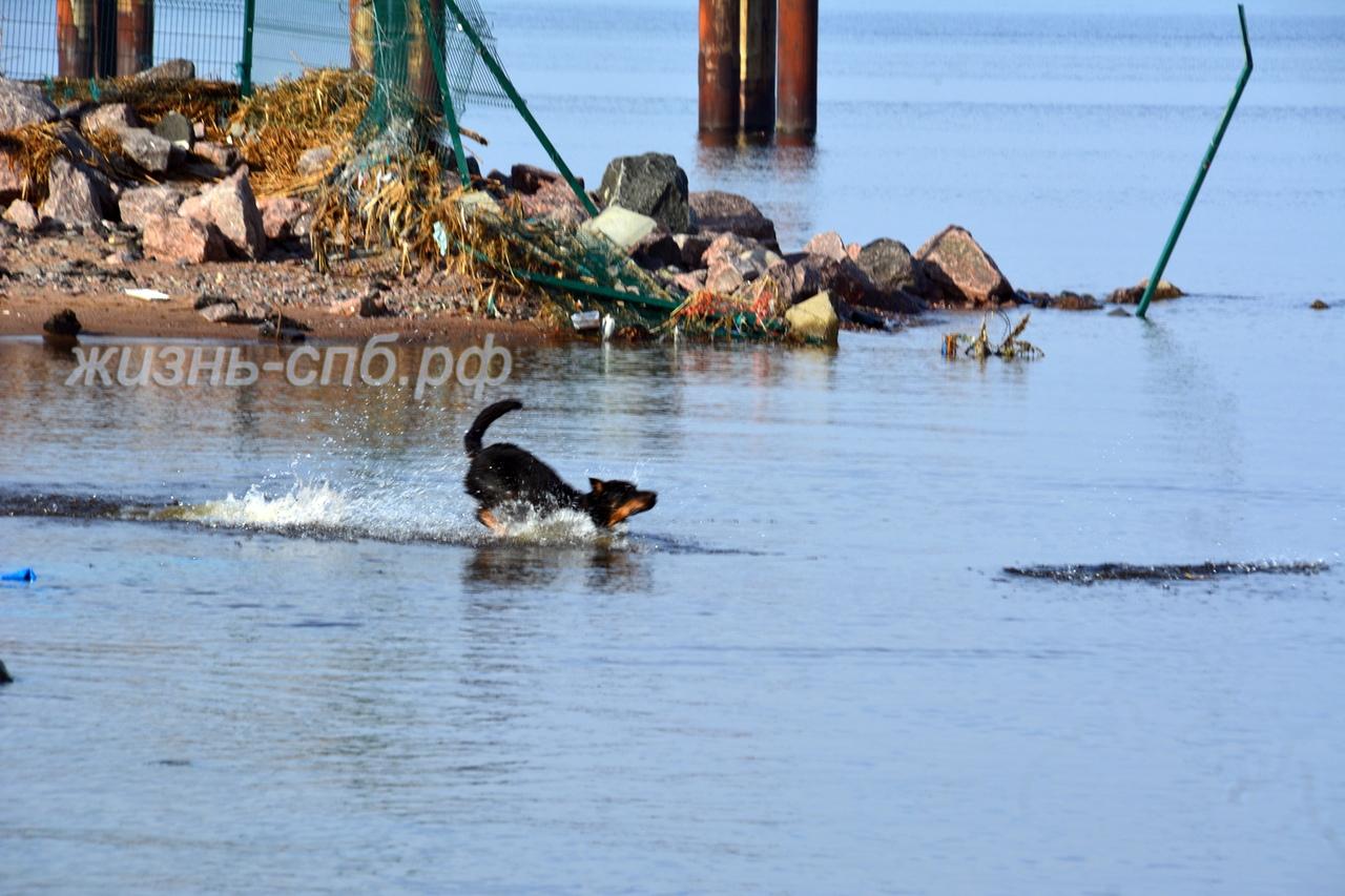 Счастливая собака купается в Финском заливе