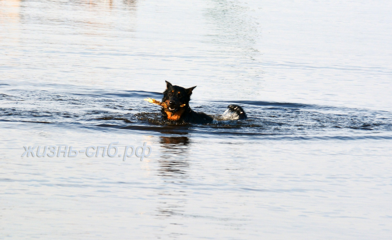 Счастливая собака купается в Финском заливе: питомец плывет с палкой в зубах