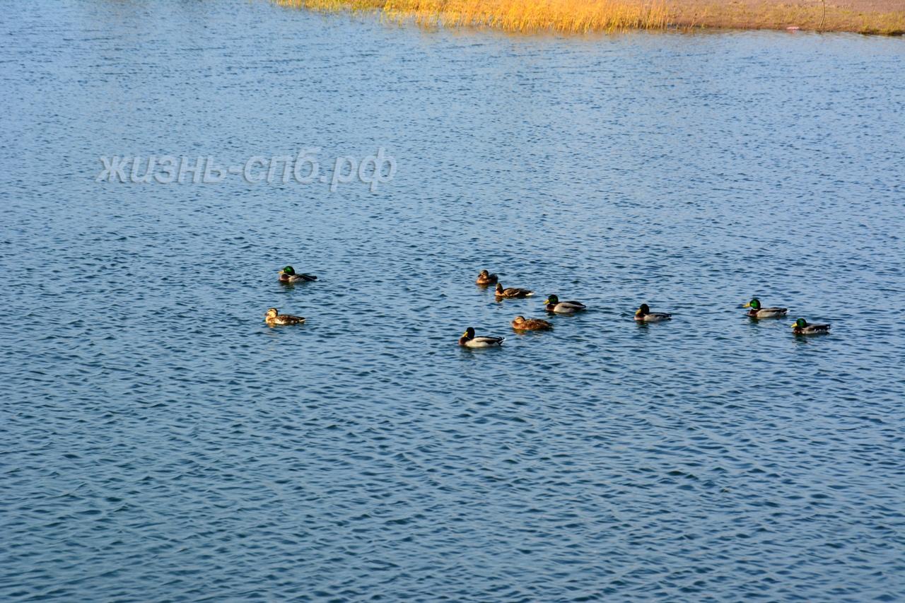 Утки на озере осенью