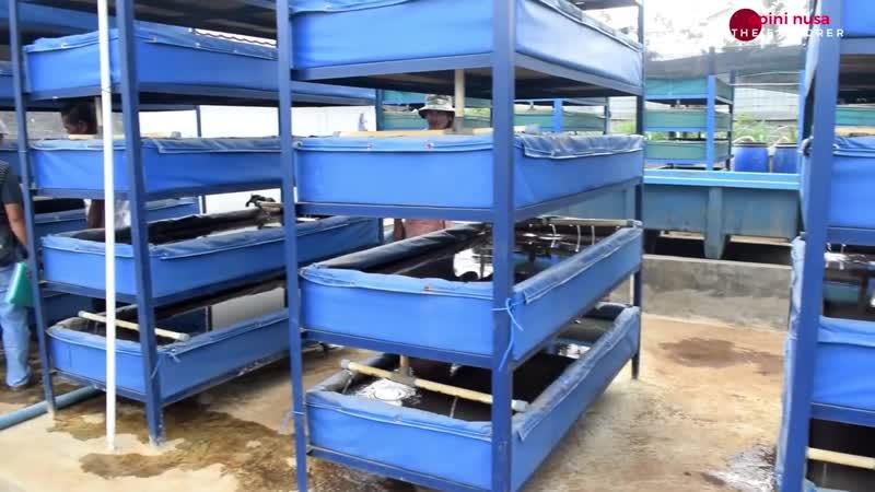 Budidaya Pakan Ikan Alami Modren Cacing Sutera (Tubifex Sp.) Sistem Resikulasi