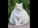 Песенка про толстых кыс...