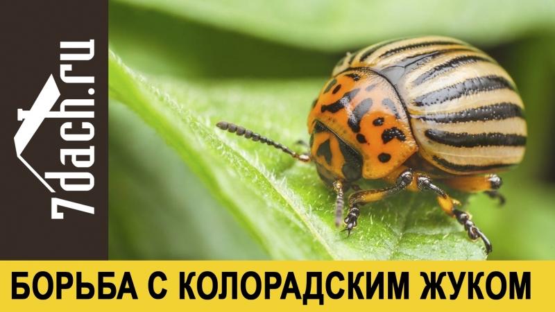 Народные средства борьбы с колорадским жуком - 7 дач