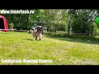 Тимерташ Фактор Успеха (Тобольск) сын Яны и Илюши (Вит Бир Ягана × Тимерташ Илья Муромец) www.timertash.ru