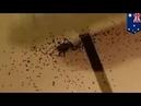 Сотни паучат выползают из брюха мамы-паучихи