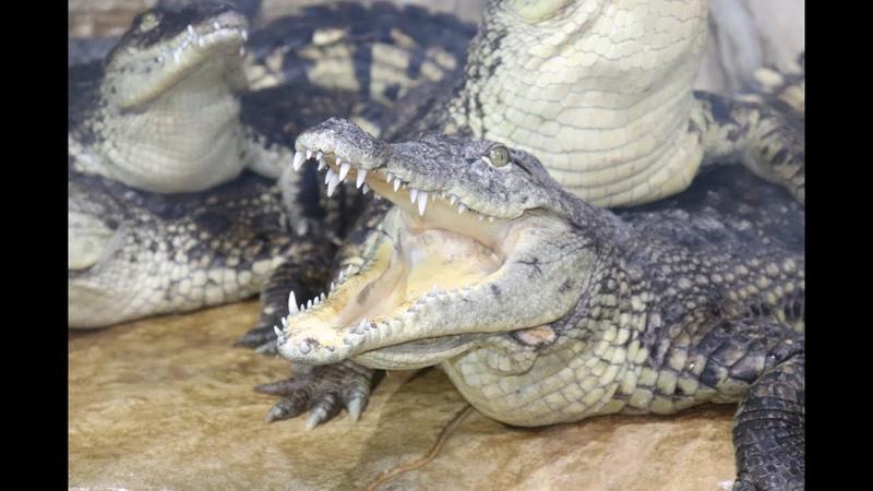 Нильские крокодилы подростки Крокодиляриум в Ялте