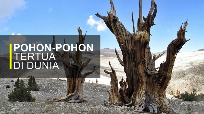 Berusia Ribuan Tahun, Pohon-pohon Ini Masih Hidup Hingga Sekarang