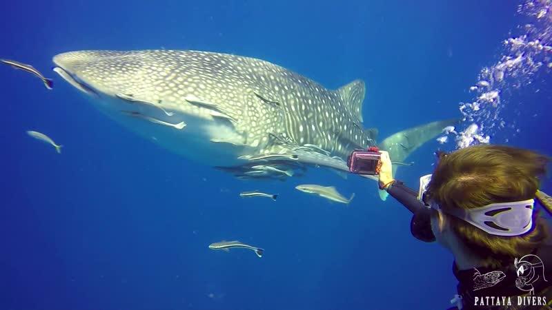 Китовая акула на Richelieu Rock | Дайвинг на Симиланах, Таиланд