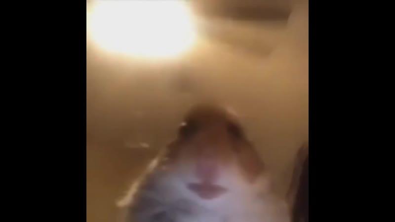 ебанутый на всю свою хомячью голову хомяк смотрит в камеру и пиздецки грустит по иксу каждый вечер такое он заебал