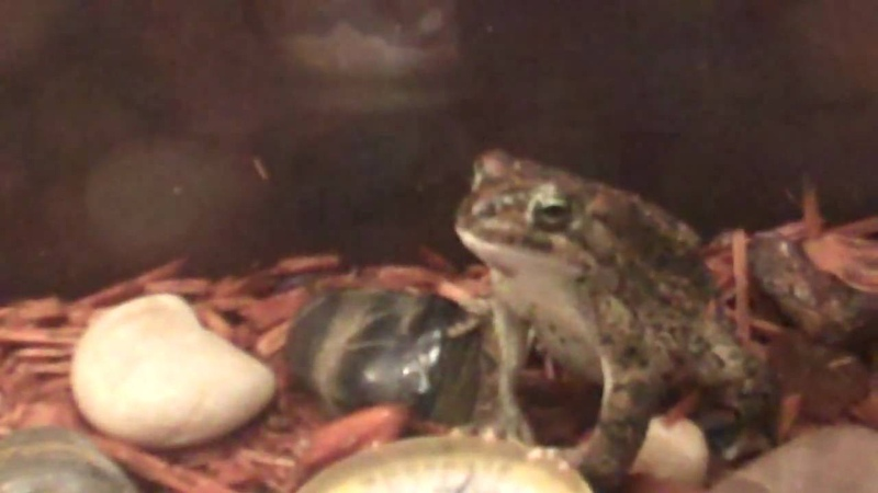 African toad turns out stomach