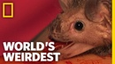 Vampire Bats   World's Weirdest