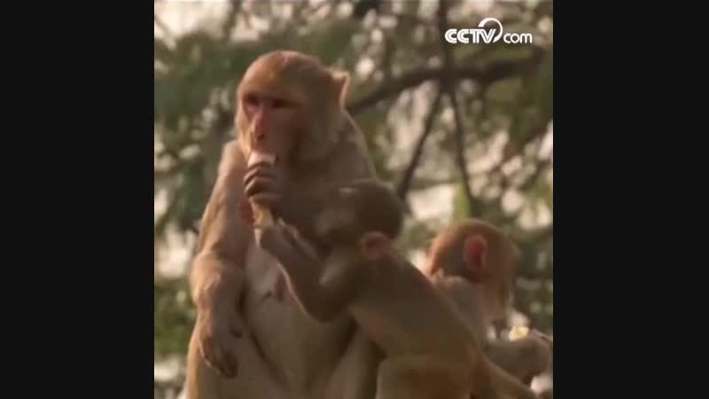 Тысячи обезьян захватили правительственные здания в Индии