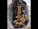 Бульдог с цыплятами