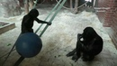 Bonobo Ape Youngster Tries To Lift The Big Ball To The Top
