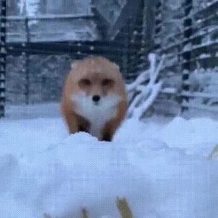 Ti amo, Foxy coub