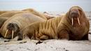 Картинка животное Svalbard and Jan Mayen seals fangs Smeerenburg Breen sand fins Pinniped