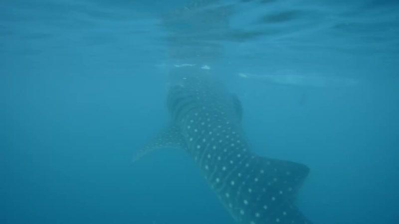 Плаваем с акулами. Филиппины