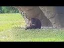 Gorila en Costa Rica