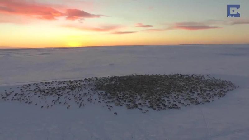 миграцию диких оленей