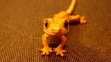 Geckos Make The Cutest Pets Funny and Adorable Leopard Crested Geckos Compilation 2018