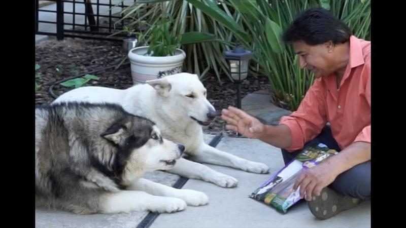Sheru Bruno Tries Bull Sticks White German Shepherd and Alaskan Malamute tries Bully Sticks