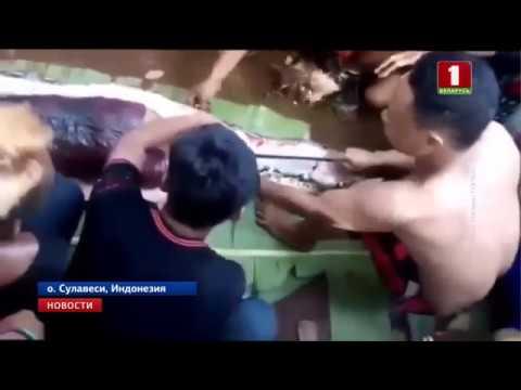 Гигантский питон целиком проглотил женщину в Индонезии видео