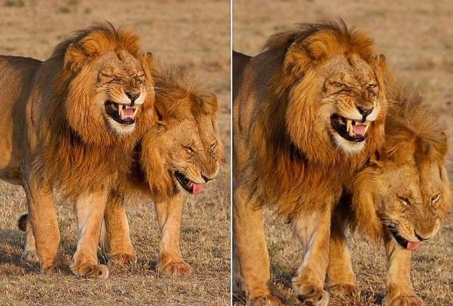 Туристка встретила двух «смеющихся» львов