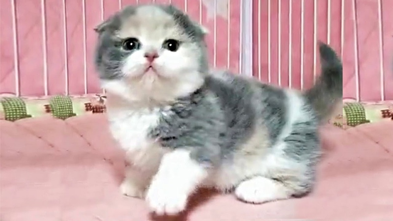 This Cute Munchkin Kitten Will Make You Squeal With Joy