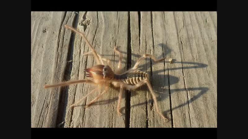 Самые опасные пауки России cfvst jgfcyst gferb hjccbb