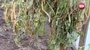 Блог садовода и огородника Светланы Кацаповой 95 вып фасоль клубника