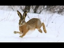 18 ЗАЯЦ ДОРОГО ДОСТАЛСЯ охота на зайца декабрь сезон 2018