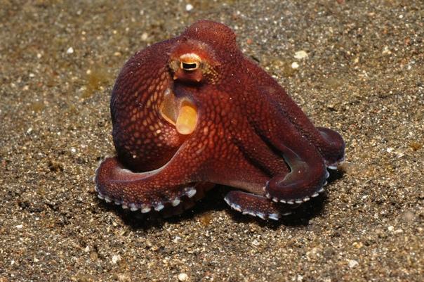 Разница между кальмаром и осьминогом Относящихся к моллюскам кальмара и осьминога многие путают. Ведь оба представителя беспозвоночных обитают в океане и имеют щупальца. Но в то же время по