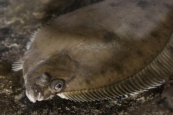 Разница между камбалой-ершом и обычной камбалой Наряду с типичной морской камбалой существует кабала-ерш, часто называемая просто ершом. Обе рыбы принадлежат к одному семейству и,