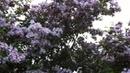 Kolkwitzia amabilis The Beauty Bush