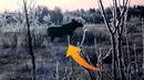 Охота на лося тверская область. Нужно ли было брать лося