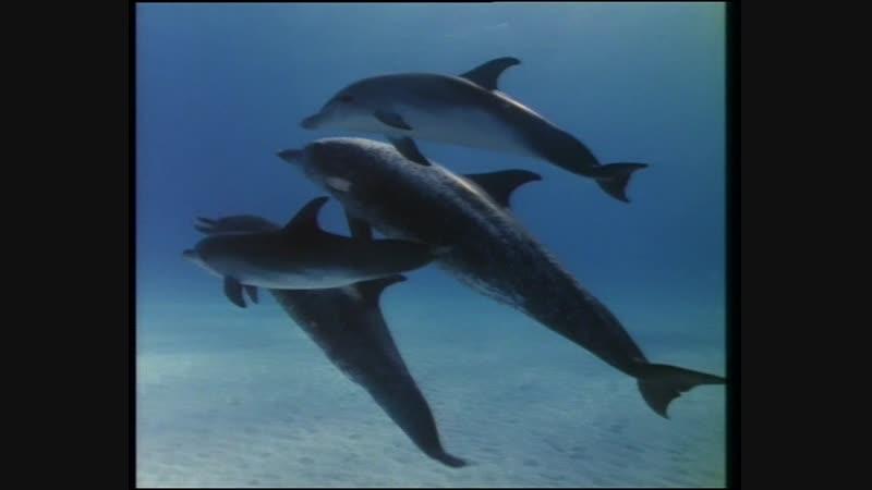 33-2 Багамские острова Киты и дельфины - тайный союз (Одиссея Жака Кусто HD 1981г)