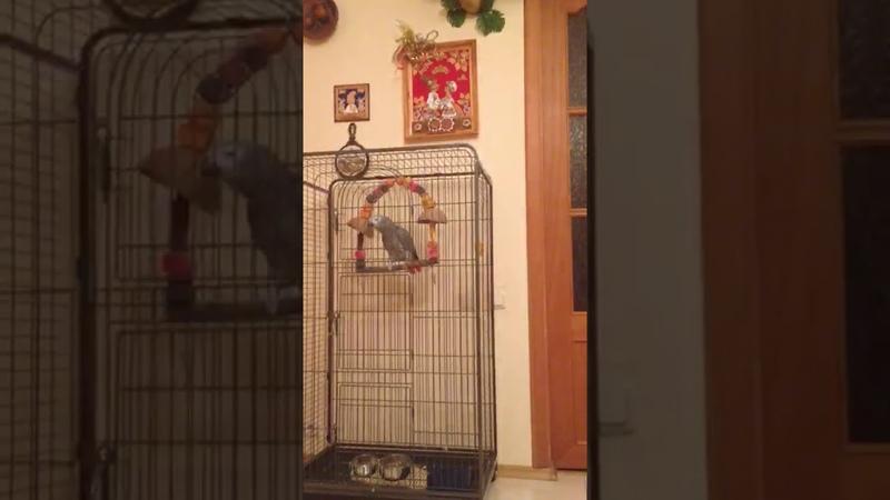 Попугай матерится как сапожник 18