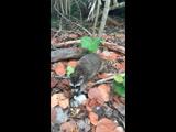 Bill Baggs Cape Florida State Park, еноты в парке