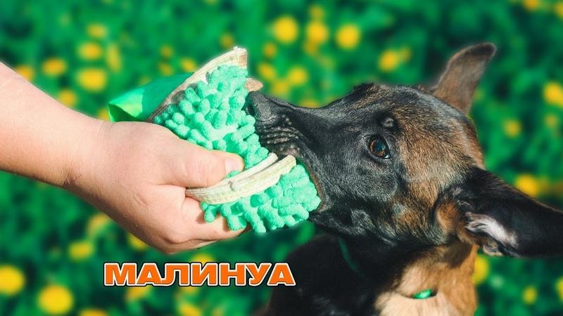 Малинуа Шарк первые шаги в дрессировке дрессировка собак Самара