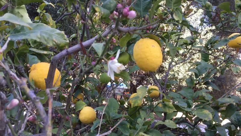 Лимоны 🍋
