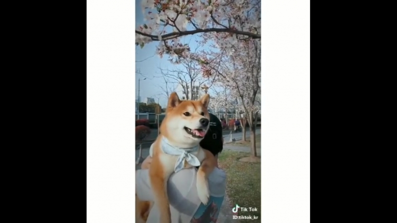 봄이왔어요~시바와 벚꽃은 언제나 옳다! 틱톡에서 겨울동안 얼어붙은것들을 다~녹여버릴 귀염 달콤구리한 영상들 보러가지않을래_.mp4