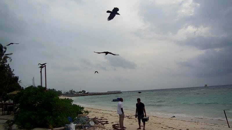 Вороны ждут рыбаков Maafushi Maldives